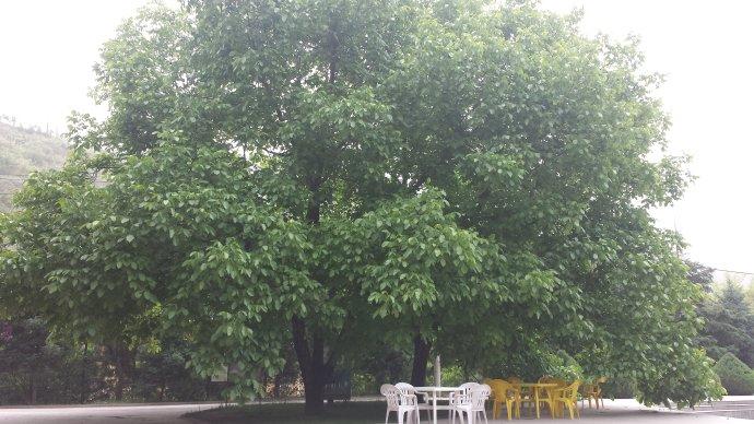 【江南】田家沟,那两棵核桃树(散文)